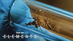 Why Is Florida Releasing 750 Million GMO Mosquitoes?